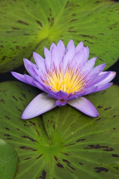 Nymphaea `Laura Frase` - Tropische Seerose