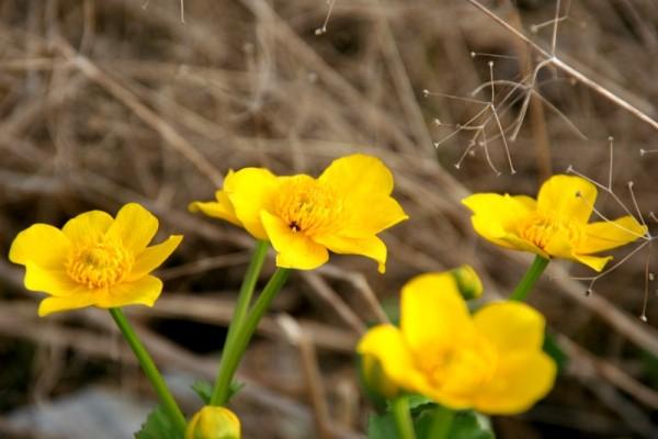 Caltha palustris `Auenwald` - Sumpfdotterblume