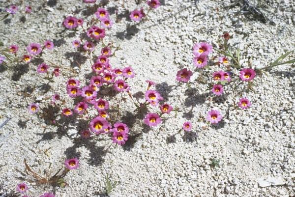 Mimulus tricolor - Dreifarbige Affenblume