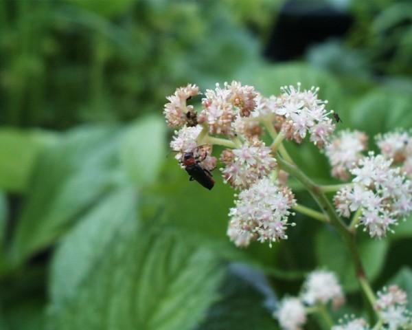 Rodgersia aesculifolia [Batalin] - Kastanienblättriges Schaublatt