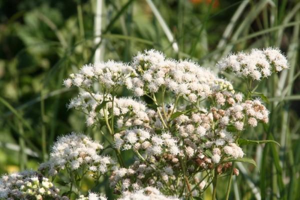 Ageratina aromatica [(L.) Spach] - Wasserdost