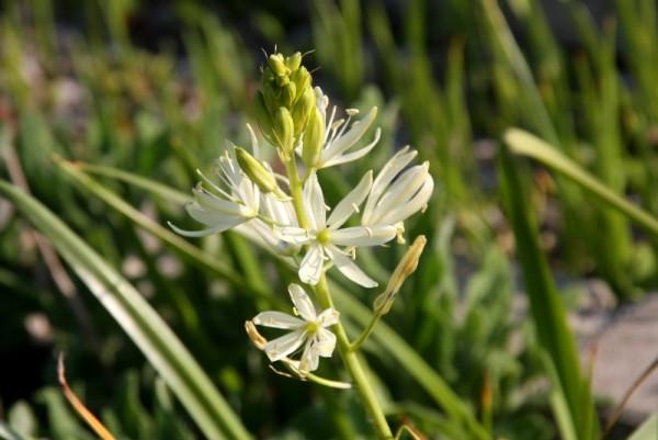 Camassia leichtlinii ssp leichtlinii - Leichtlin-Prärielilie