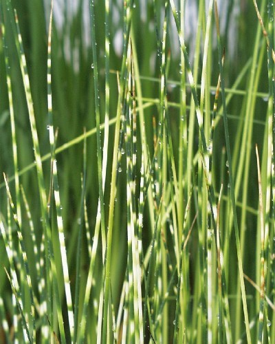 Schoenoplectus lacustris ssp tab. `Zebrinus` - Zebrasimse