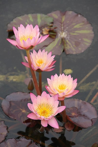 Nymphaea `Tropic Sunset` - Tropische Seerose