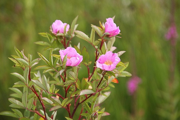 Rosa palustris [Marsh.] - Sumpfrose