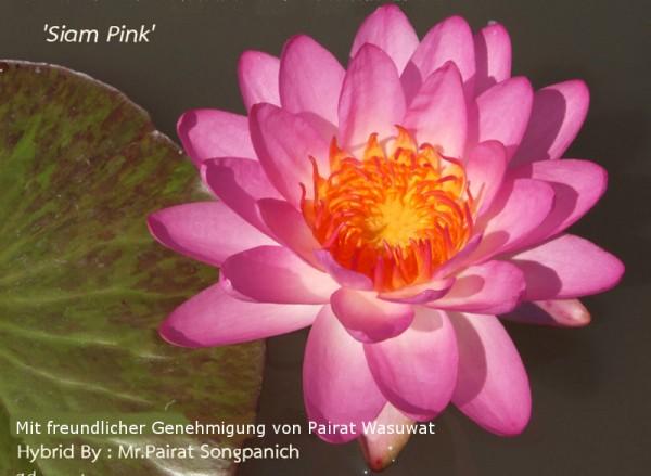 Nymphaea `Siam Pink` - Winterharte Intersubgenerische Seerose