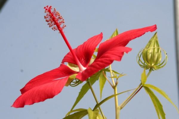 Hibiscus coccineus [Walter] - Scharlachroter Hibiskus