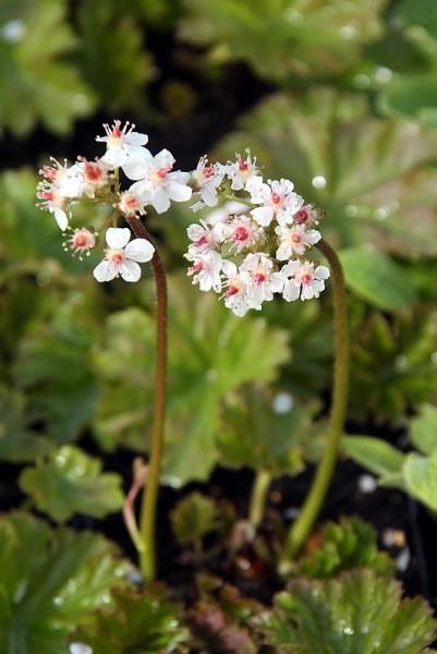 Darmera peltata [(Torr. ex Benth.) Voss] - Schildblatt