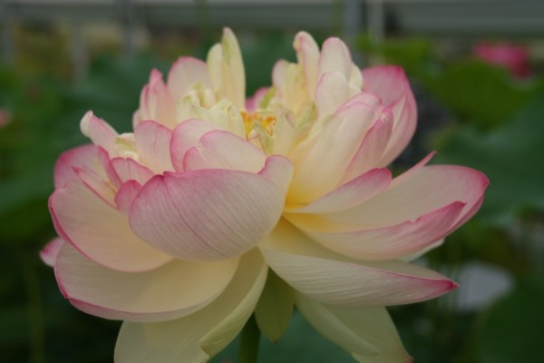 Nelumbo `Perry`s Super Star` - Lotosblume