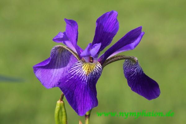 Iris x robusta `Dark Aura` - Sumpfiris