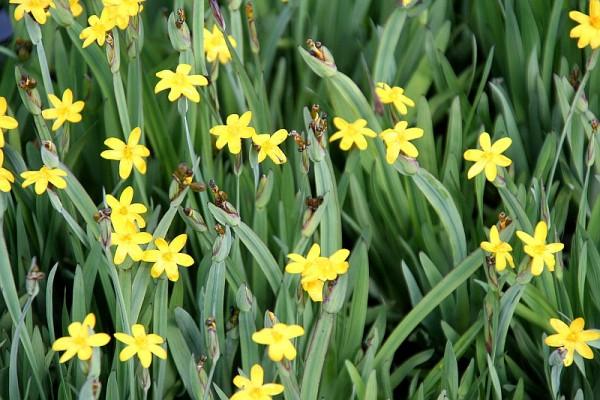 Sisyrinchium californicum [W.T. Aiton] - Kalifornische Binsenlilie