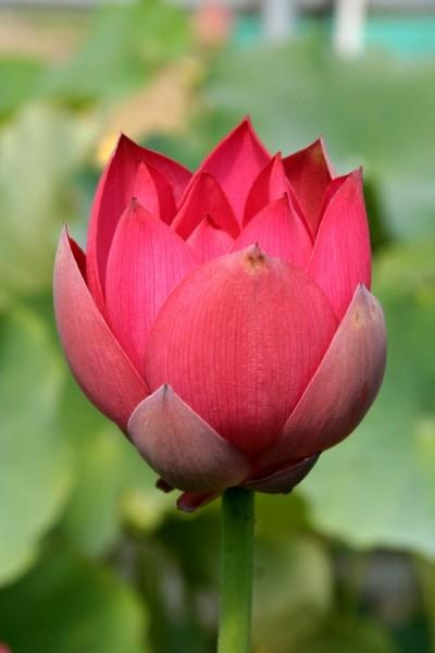 Nelumbo `Rote Jujube` - Lotosblume