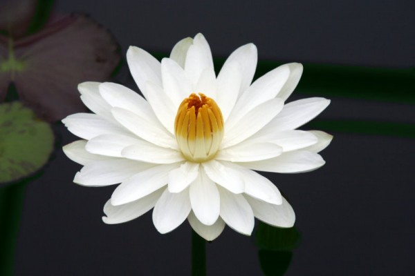 Nymphaea `Wood`s White Knight` - Tropische Seerose