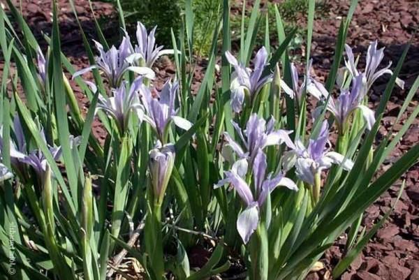 Iris lactaea 'Mix' - Milchiris