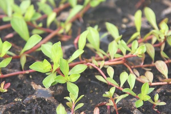 Ludwigia palustris [(L.) Elliott] - Sumpflöffelchen