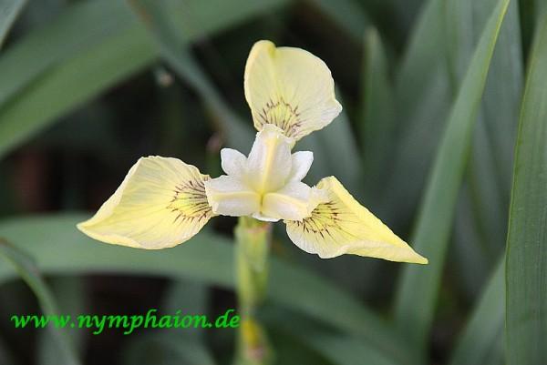 Iris x monnieri [DC.] - Türkische Sumpfiris