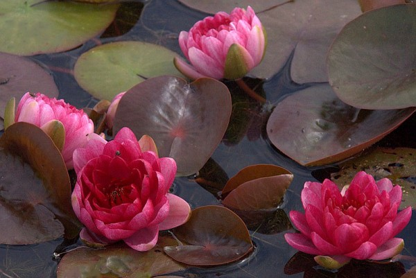 Nymphaea `Perry`s Red Dwarf` - Winterharte Seerose