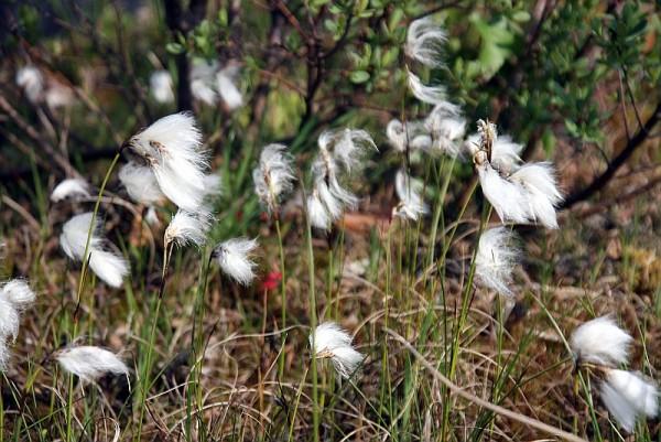 Eriophorum angustifolium [Honck.] - Schmalblättriges Wollgras