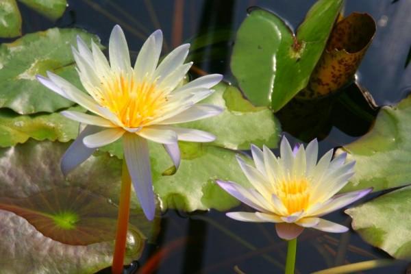 Nymphaea `Green Smoke` - Tropische Seerose
