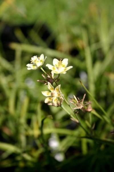 Zigadenus elegans [Pursh] - Weiße Jochlilie