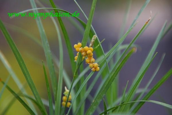 Carex aurea [Nutt.] - Goldene Segge