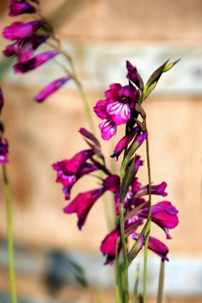 Gladiolus palustris [Gaudin] - Sumpf-Siegwurz