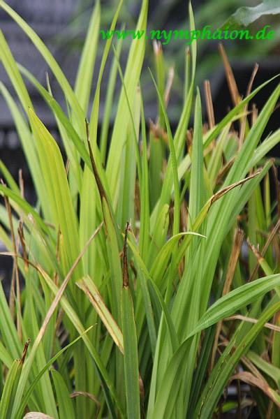 Carex pendula [Huds.] - Hängesegge