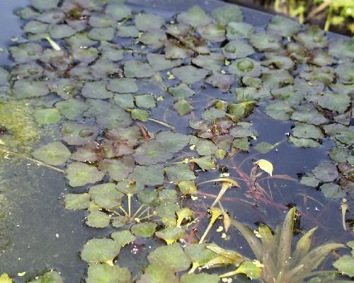Trapa natans [L.] - Wassernuss