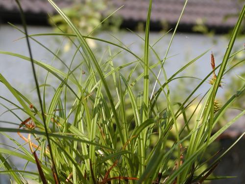Carex flava [L.] - Gelbe Segge