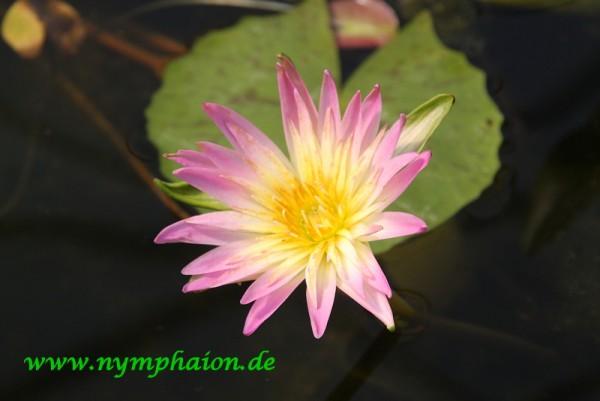 Nymphaea `Darcy Presnell` - Tropische Seerose