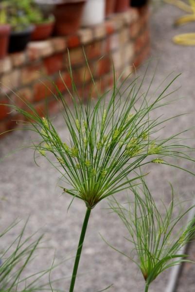 Cyperus papyrus [L.] - Echter Papyrus
