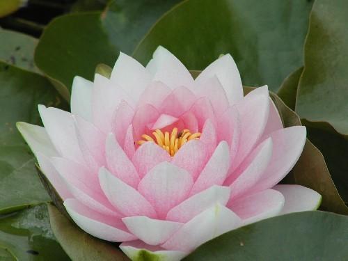Nymphaea `Darwin` - Winterharte Seerose
