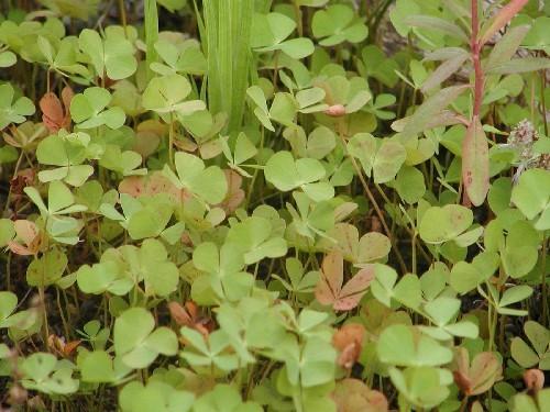 Marsilea quadrifolia [L.] - Vierblättriger Kleefarn