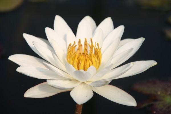 Nymphaea `Wood`s White Knight` - Tropische Seerose-Copy