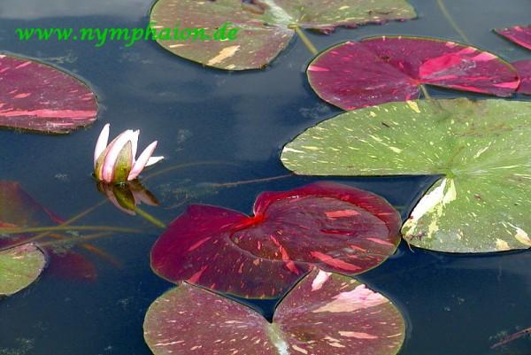Nymphaea `Arc-en-Cièl` - Winterharte Seerose