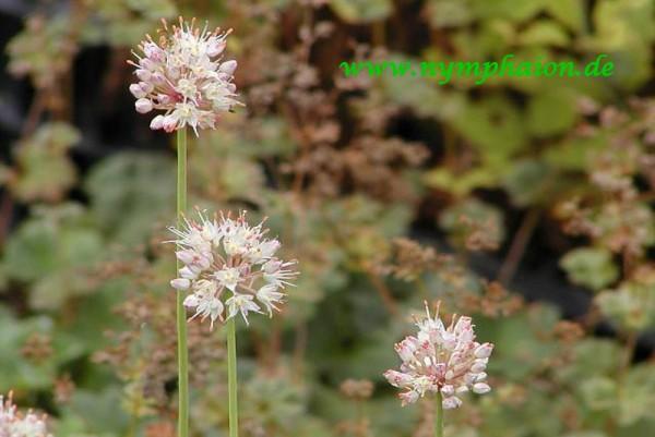 Allium suaveolens [Jacq.] - Wohlriechender Lauch