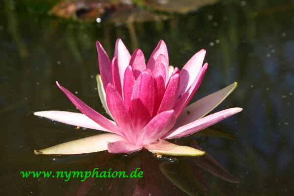 Nymphaea `Perry`s Red Bicolor` - Winterharte Seerose