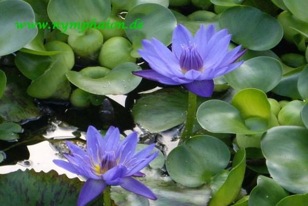 Nymphaea `Blue Spider` - Tropische Seerose