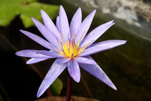 Nymphaea `Islamorada` - Tropische Seerose