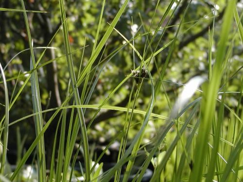 Carex rostrata [Stokes] - Schnabelsegge