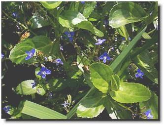 Veronica beccabunga [L.] - Bachbunge