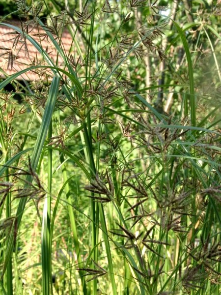 Cyperus longus [L.] - Hohes Zypergras