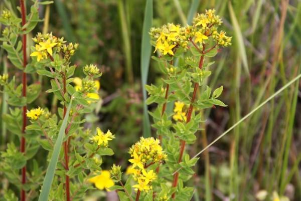 Hypericum tetrapterum [Fr.] - Geflügeltes Johanniskraut