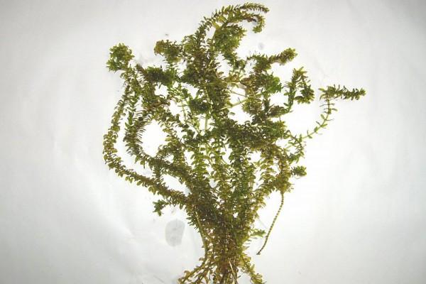Elodea nuttallii [(Planch) ST. John] - Schmalblättrige Wasserpest - Großportion