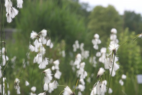 Eriophorum latifolium [Hoppe] - Breitblättriges Wollgras