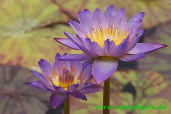 Nymphaea `Southern Charm`- Tropische Seerose