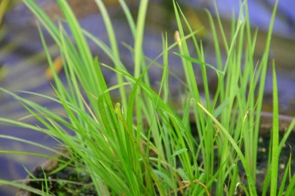 Acorus gramineus `Licorice` - Lakritzkalmus