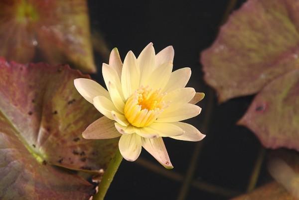 Nymphaea `Stan Skinger`- Tropische Seerose