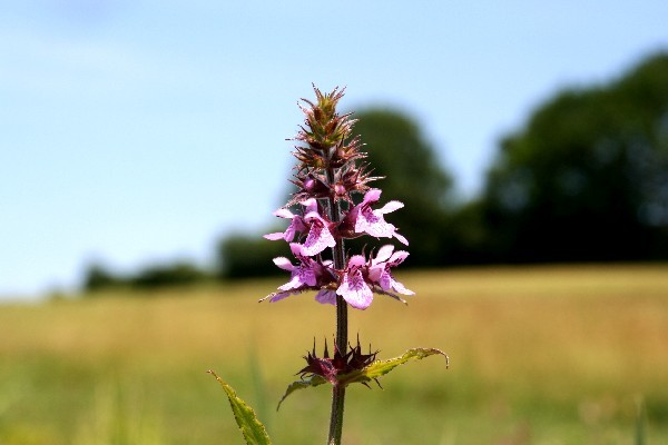 Stachys palustris [L.] - Sumpfziest