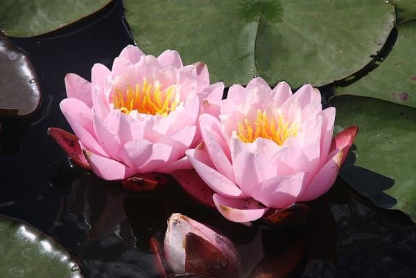 Nymphaea `Pink Pumpkin` - Winterharte Seerose